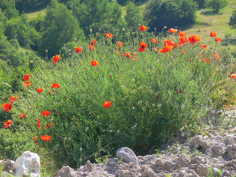 kırmızı çiçek