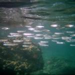 balık sürüsü