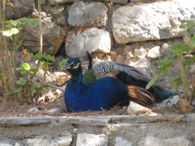 Tavus Kuşu Deretepe Net