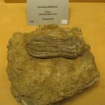 Deniz Lalesi Fosili