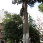 asırlık ağaç
