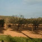 Antep fıstığı ağaçları