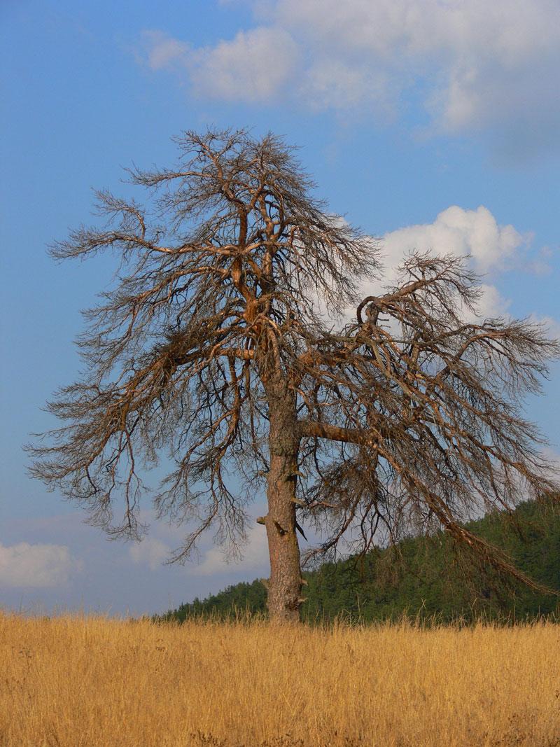 kuru ağaç