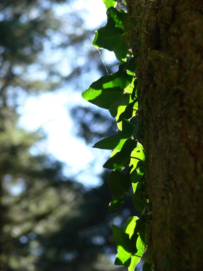 sarmaşık yaprakları