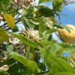 Limon Çiçeği ve Meyvesi