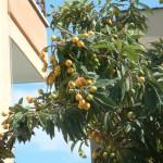Yenidünya Ağacı ve Meyvesi