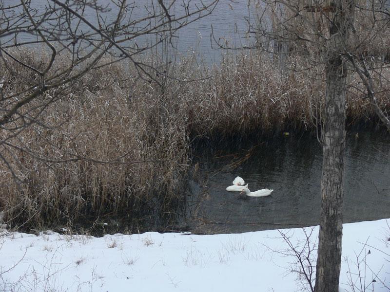 Eymir Gölü Kazlar