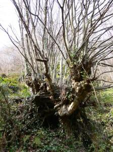 Ağaç Kökü