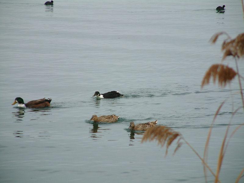 ördekler yüzüyor
