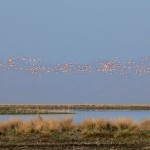 Sultan Sazlığı Kuş Cenneti Flamingolar