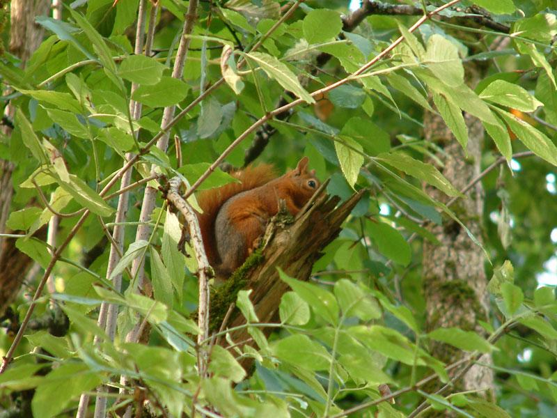 Ağaçta sincap