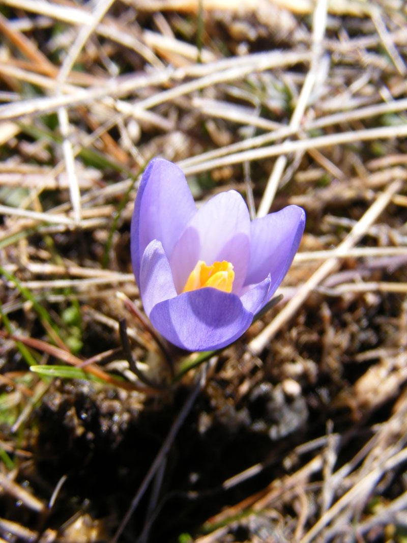 Işık Dağı Kardelen Çiçeği