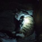 Kedi çetikleri emziriyor