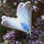 saimbeyli-mavisi-kelebegi-yeniden-ortaya-cikti-53f1d4306e323